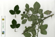 Rubus ulmifolius var. anoplothyrsus