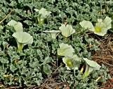Calystegia collina ssp. collina