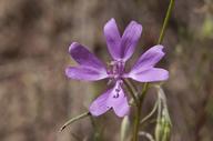 Clarkia biloba ssp. biloba