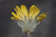 Enceliopsis nudicaulis var. corrugata