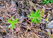 Delphinium hansenii ssp. hansenii