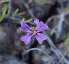 Sibaropsis hammittii