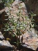 Monardella hypoleuca ssp. intermedia