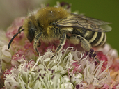 Colletes sp.