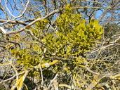 Phoradendron leucarpum ssp. macrophyllum