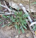 Erysimum capitatum ssp. perenne