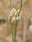 Eriogonum gracile var. gracile
