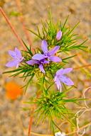 Eriastrum pluriflorum ssp. pluriflorum