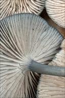 Entoloma serrulatum