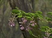 Ribes sanguineum var. glutinosum