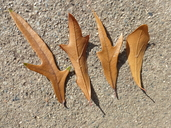 Quercus nigra