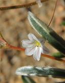 Eriogonum spergulinum var. spergulinum