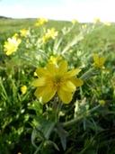 Ranunculus canus var. canus