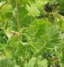 Geum triflorum var. ciliatum