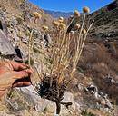 Salvia columbariae var. columbariae