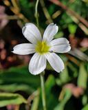 Sisyrinchium halophilum