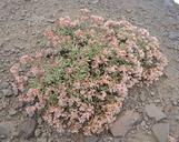 Eriogonum microthecum var. alpinum