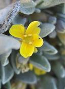 Physaria kingii ssp. kingii