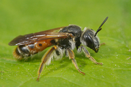 Andrena hattorfiana