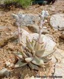 Dudleya abramsii ssp. abramsii
