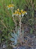 Dudleya cymosa ssp. costatifolia