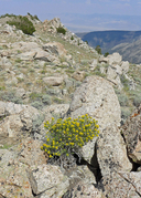Sticky Leaved Rabbitbrush