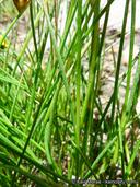 Juncus duranii