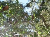 Quercus Xacutidens