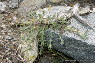 Monardella australis ssp. australis