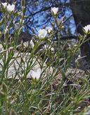 Eremogone macradenia var. arcuifolia