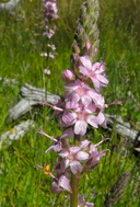 Sidalcea oregana ssp. oregana