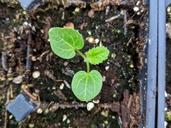 Alcea rosea ssp. ficifolia