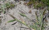 Agrostis exarata