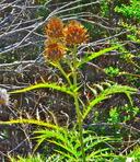Cynara cardunculus ssp. flavescens