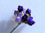 Psorothamnus scoparius