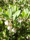 Arctostaphylos crustacea ssp. rosei