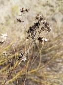 Baccharis malibuensis