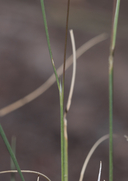 Muhlenbergia jonesii