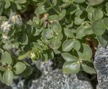 Galium glabrescens ssp. glabrescens