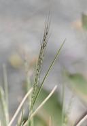 Muhlenbergia montana