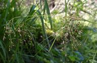 Luzula parviflora ssp. parviflora