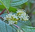 Cornus sericea ssp.occidentalis