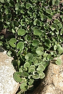 Dichondra occidentalis