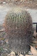 Ferocactus cylindraceus var. lecontei