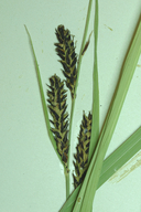 Carex aquatilis