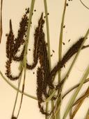 Carex aquatilis var. dives