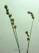 Carex interior