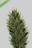 Carex luzulifolia