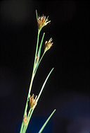 Rhynchospora capitellata