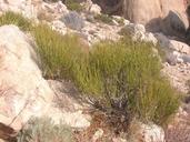 Ephedra viridis